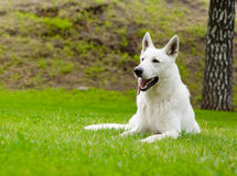 Purebred White Swiss Shepherd lying in park Stock Photo
