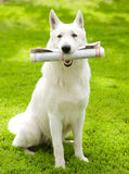 Purebred White Swiss Shepherd with newspaper Stock Images