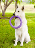 Purebred White Swiss Shepherd  playing toy puller Stock Image
