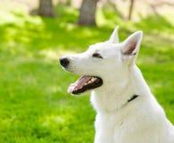 Purebred White Swiss Shepherd in profile Stock Photo