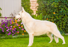 Purebred White Swiss Shepherd standing in profile on the grass. Stock Images