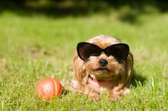 Purebred Yorkshire Terrier Fotografia Royalty Free
