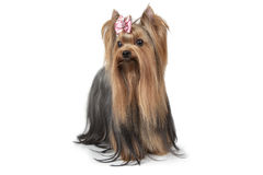 Purebred Yorkshire terrier dog Stock Images