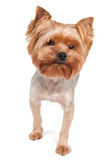 Purebred Yorkshire Terrier Royalty Free Stock Image