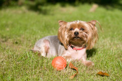 Purebred yorkshire terrier Royalty Free Stock Images