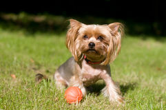 Purebred yorkshire terrier Royalty Free Stock Photos