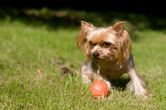 Purebred yorkshire terrier Stock Images