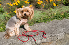 Purebred yorkshire terrier Stock Photography