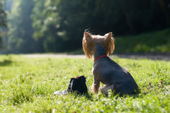 Purebred yorkshire terrier Royalty Free Stock Photo