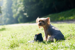 Purebred yorkshire terrier Royalty Free Stock Photography