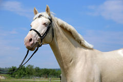 Purebred young cremello stallion posing in the corral Royalty Free Stock Image