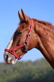 Purebred young horse posing against blue sky Stock Photography