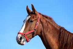 Purebred young horse posing against blue sky Stock Photos