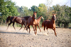 Purebred young hungarian gidran stallions canter in summer corra. Beautiful chestnut colored horses galloping in the pinfold Stock Image
