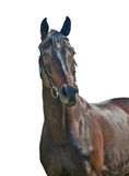 Purebred young mare isolated on white. Purebred mare isolated on white  sunny day Royalty Free Stock Image