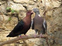 Purebreds doves Royalty Free Stock Photo