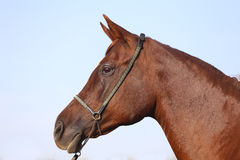 Purebreed arabian stallion head with halter against blue sky Royalty Free Stock Photo