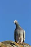 Purebreed pigeon Stock Photo