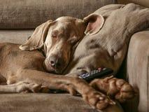 purebreed weimaraner和被隔绝的狗画象  库存照片