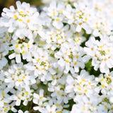 Pureza Candytuft. Fondo minúsculo blanco de las flores Imagen de archivo