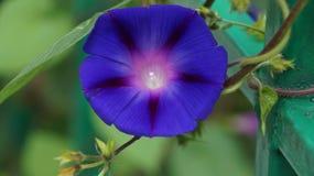 Purezza porpora di colore Fotografie Stock Libere da Diritti