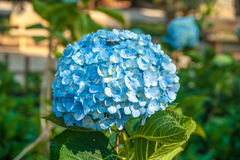 Purfect blue blossoms of hydrangea flower Stock Photography