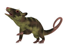 Purgatorius Primate on White. Purgatorius is an example of the first primate that lived in Montana in the Cretaceous Period Stock Images