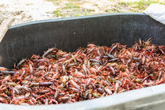 Purge tub full of live crawfish Royalty Free Stock Images