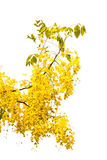 Purging cassia on white background Royalty Free Stock Photos