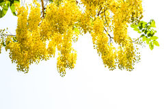Purging cassia on white background. Stock Image
