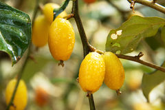 Purging croton. Clusters of soon to be purging croton are hanging from a fruit tree Royalty Free Stock Image