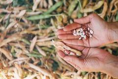 Purified cynaderki fasole w rękach rolnik zdjęcie royalty free