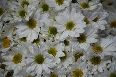 Purifique las flores blancas en día de verano fotografía de archivo