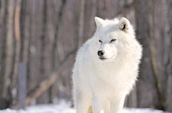 Purity. Arctic wolf in nature during winter Stock Photography