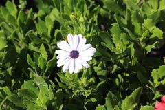 Purity of African Daisy Royalty Free Stock Photos
