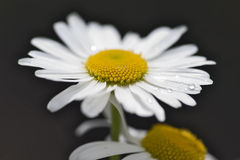 Purity of camomile Royalty Free Stock Images