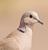 The purity of a Collared Dove. Extrem close-up of a Collared Dove´s (Streptopelia decaocto) face showing up to the last detail of this well-known bird Royalty Free Stock Photo