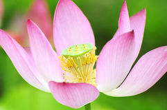 Purity color of lotus flower Stock Photo