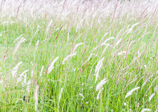 Purity flower grass. On the hill of countryside Royalty Free Stock Photography