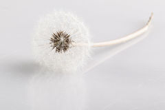 Purity. A fluffy dandelion leaning on a white reflective surface with reflection Royalty Free Stock Photos