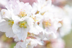 Purity. Macro view of a sakura cherry flower after the small spring rain against the background of a bunch of other cherry flowers of white and pink color Stock Photography