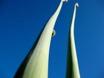 Purity. Pure nature and its colors. Green stems and the sky Stock Images