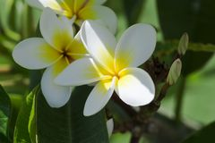 Purity of white Plumeria or Frangipani flowers. Blossom of tropical tree. selective focus Stock Photography
