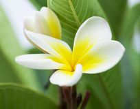 Purity of white Plumeria or Frangipani flowers. Blossom of tropical tree. selective focus.  Royalty Free Stock Photography