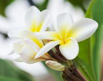 Purity of white Plumeria or Frangipani flowers. Blossom of tropical tree. selective focus.  Stock Photography