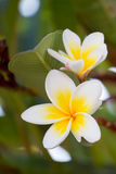 Purity of white Plumeria. Royalty Free Stock Photo
