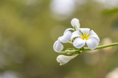 Purity of white Plumeria. Royalty Free Stock Photos