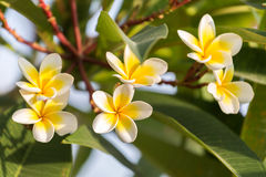 Purity of white Plumeria. Stock Image