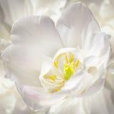 Purity of White Tulip Stock Photo