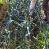 Purjolök gräsplan, ben, arm och att arbeta i trädgården och att skörda, självodlat jordbruksprodukter Arkivfoto